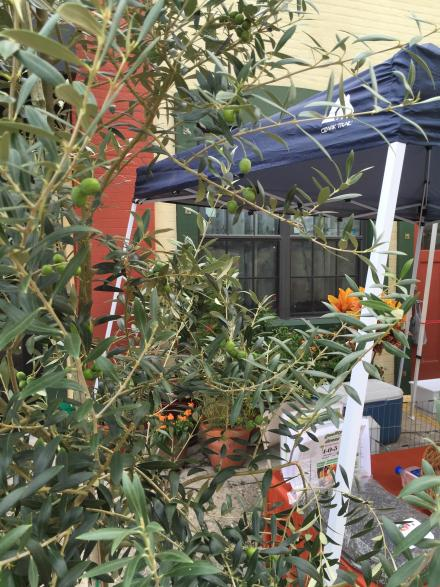 artisan_alley_farmer__s_market_7-1-16_olives_on_the_olive_tree