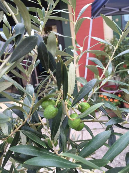 artisan_alley_farmer__s_market_7-1-16_olives_on_the_olive_tree_1_close_up_cluster
