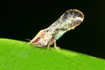 asian_citrus_psyllid adult