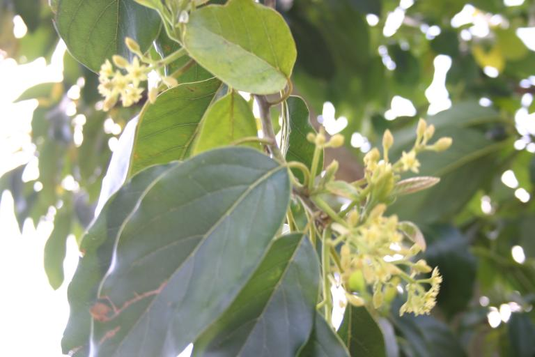 avocado blooming debary_4-10-16