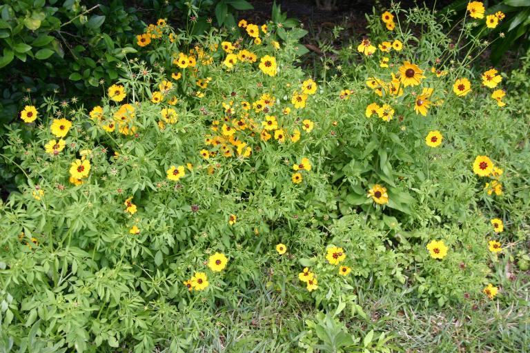 blooming_coreopsis_basalis_4-10-16