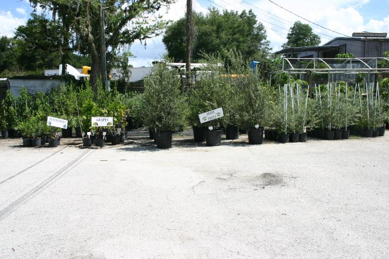 blueberry_plants__grapes__and_olive_trees_at_nursery_6-27-15