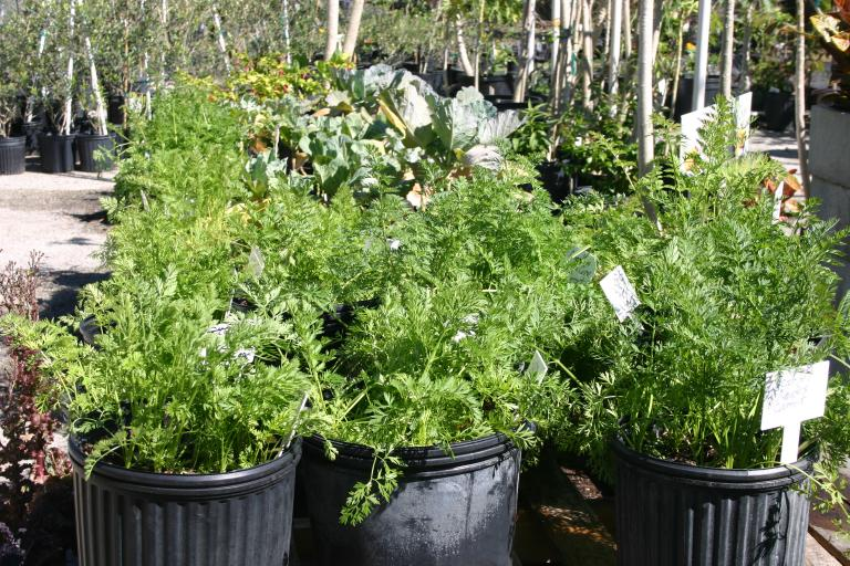 carrots_almost_ready_to_pull_2-28-16_quality_green_nursery