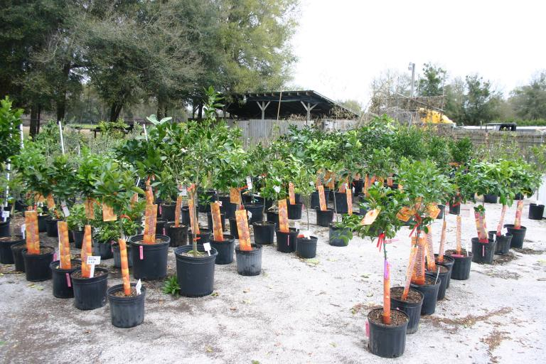 Citrus in QGS Nursery 2-27-15