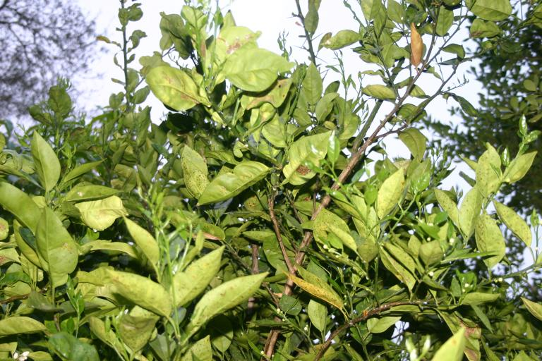 citrus_orange_tree_new_flush_3-14-16