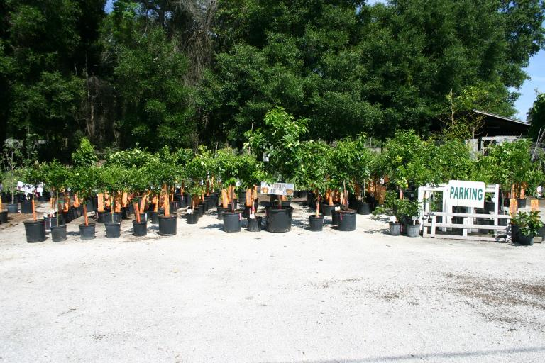 citrus_tree_display__nursery_4-24-15