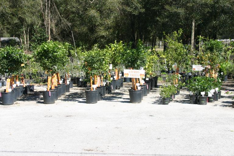 citrus_trees_at_quality_green_nursery_2-28-16