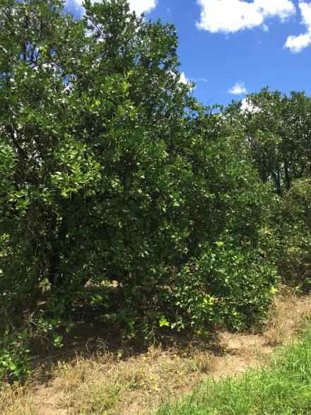 citrus_trees_recovering_from_greening_with_citra_thrive_plus_5_near_dundee__florida_7-25-16