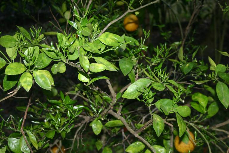 citrus_white_tangelo_tree_new_flush_3-14-16
