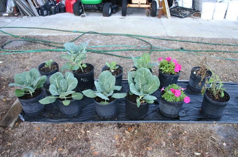 collards in compost vs Miracle-Gro 1-3-11