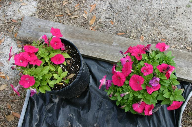 Petunias in compost & Miracle Gro