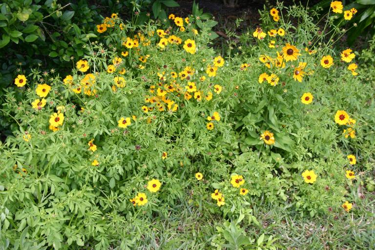 coreopsis_basalis_blooming_4-10-16