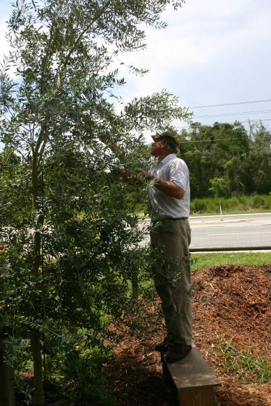 david_wiggins_picking_olives_from_arbequina_olive_tree_in_front_of_nursery_8-7-15