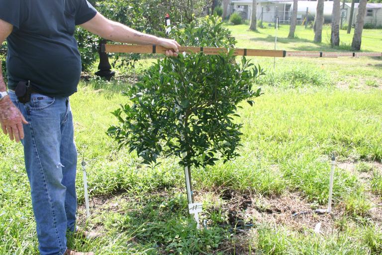 dick_marshall_young_orange_tree_11_on_7-17-14