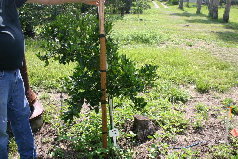 dick_marshall_young_orange_tree_12_on_7-17-14