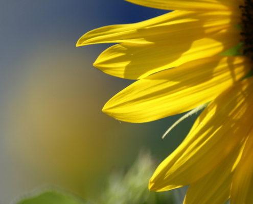 Potassium Magnesium Sulfate for Flowers