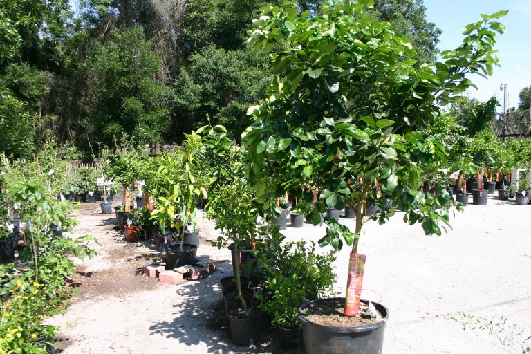 grapefruit_tree_25_gal_display__nursery_4-24-15