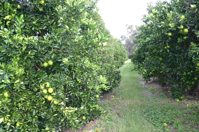 Citrus grove_super_healthy