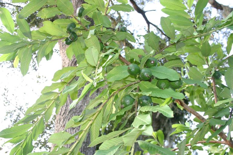guava___meaty_pink___mother_guava_tree_is_full_of_maturing_guavas_8-8-15