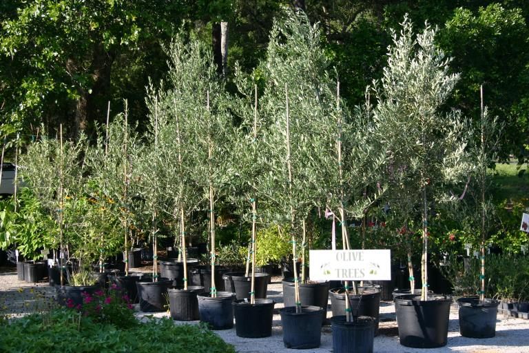 Nursery olives 3 & 7 gallon containers 6-2-16