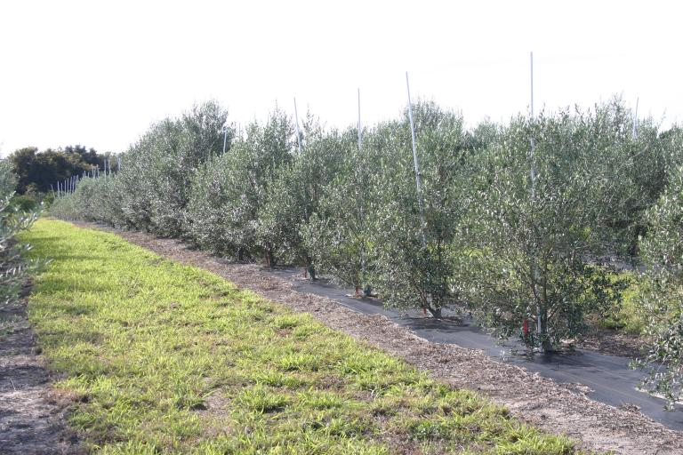 jim___sherry_tschida_olive_grove_jan._20__2016_showing_2___3_year_old_trees_-_larger_on_burn_pile