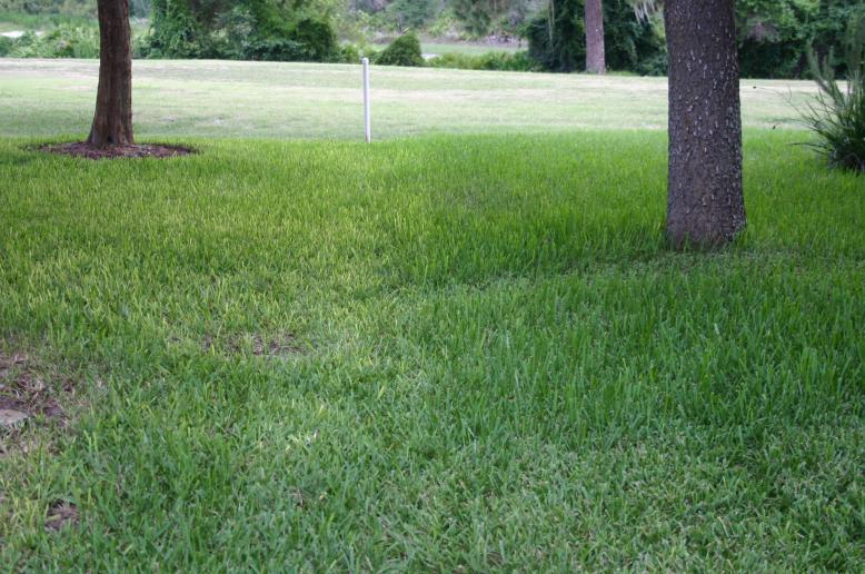 lawn on left chemical fertilizer - on right 3-0-5 July 4, 2012