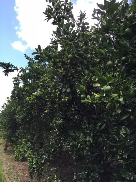 mature_citrus_trees_wilbur_robertson_recovering_from_greening_with_a_large_fruit_load_8-10-16