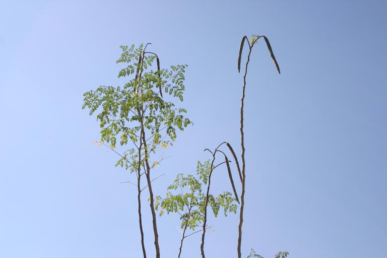 moringa_seed_pods_in_top_of_tree