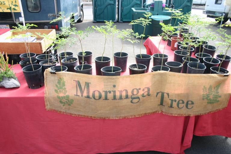moringa_trees_gallon