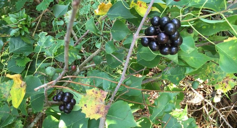 Muscadine grapes ripening in the wild