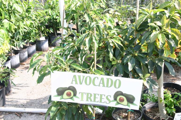 nursery_avocado_section_7-30-15