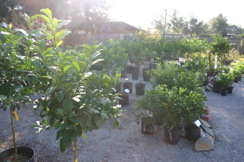 nusery citrus 11-17-12
