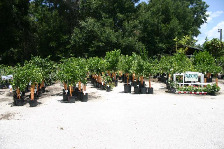 nursery_citrus_section__7-10-15