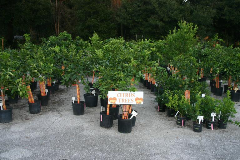 nursery_citrus_tree_section_10-14-15