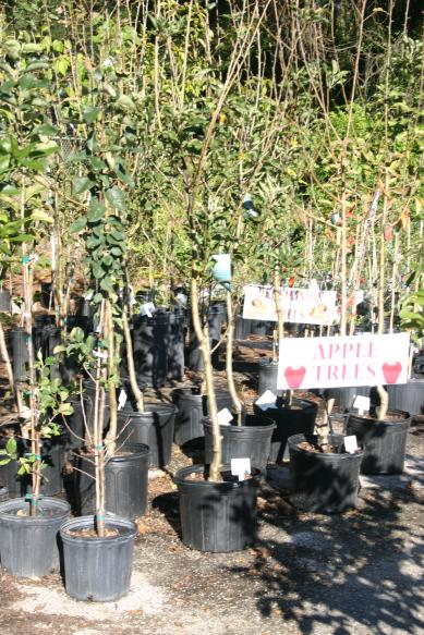 nursery_close-up_fancy_3_gallon___7_gallon_apple___persimmon_trees_12-11-15