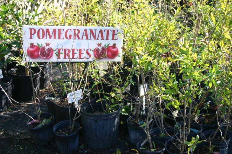 nursery_close-up_of_gallon___3_gallon_pomegranate_trees_12-11-15