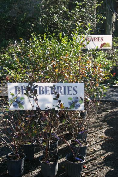 nursery_close-up_of_highbush_blueberries_12-11-15