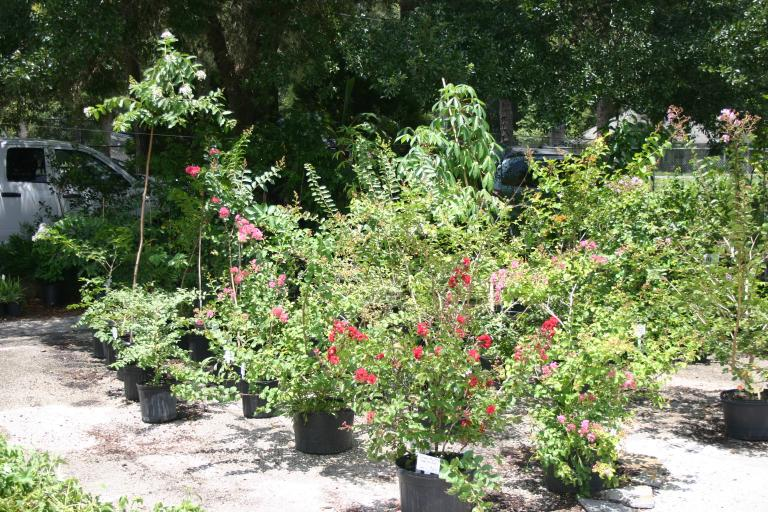 nursery_crape_myrtles 7-10-15