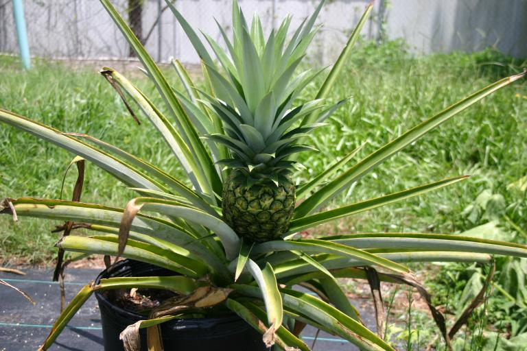 nursery_display_pineapple__7-10-15