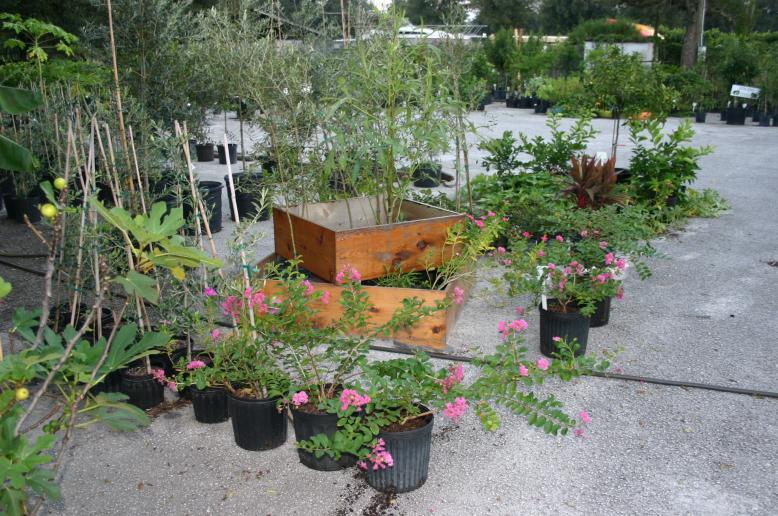 nursery_fresh_with_blooming_pink_crapes_9-26-13