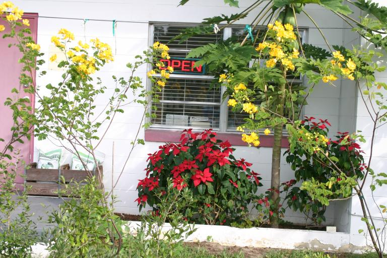 nursery_good_close-up_storefront_showing_yellow_cassia__papaya__and_poinsettia_11-14-15