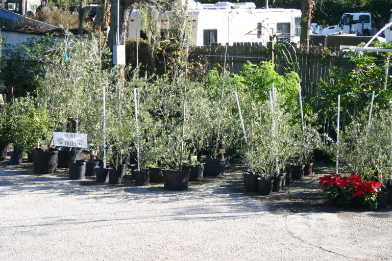 nursery_olive_south_side_section_with_poinsettias_12-11-15