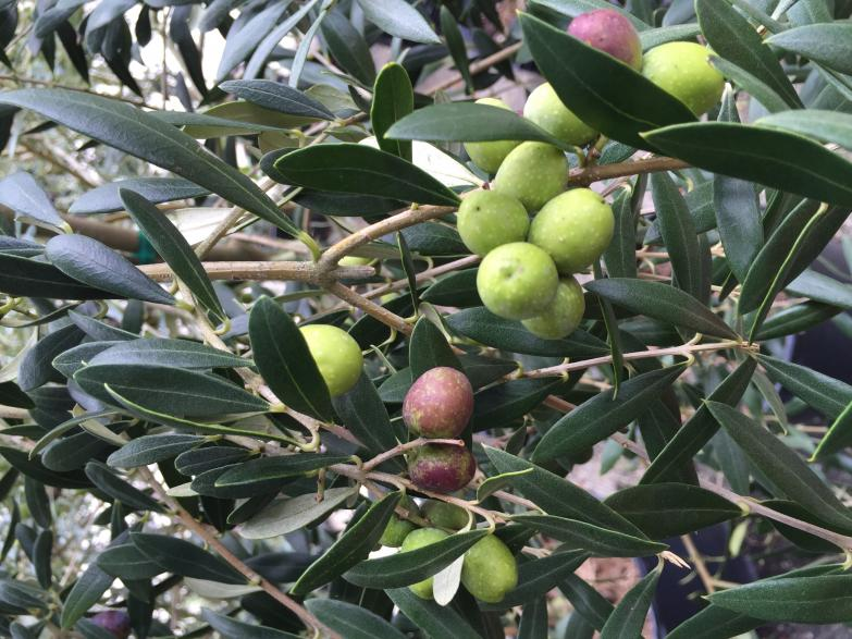 nursery_olives_on_tree_8-30-16