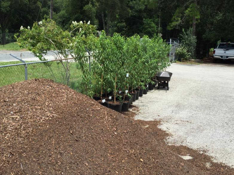 nursery_peaches_florida_prince_in_7_gallon_pots___potting_soil_they_were_potted_in_8-11-16