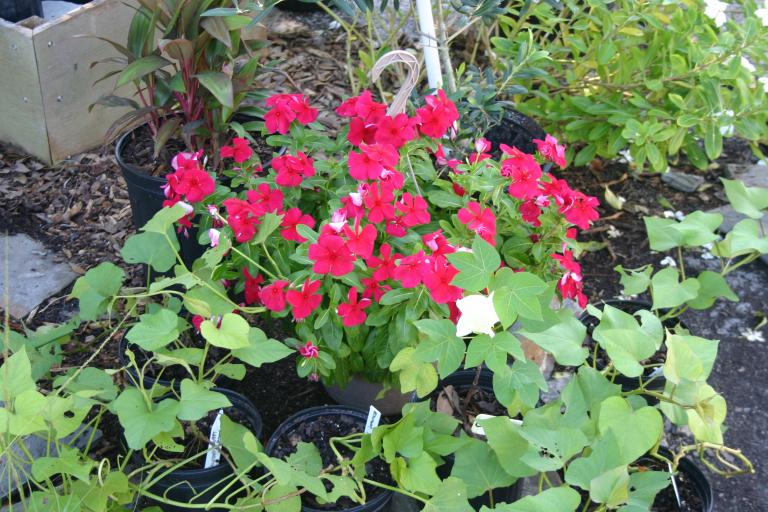 nursery_red_vinca_periwinkle__cotton_blooming__and_sweet_potato_plants__7-10-15