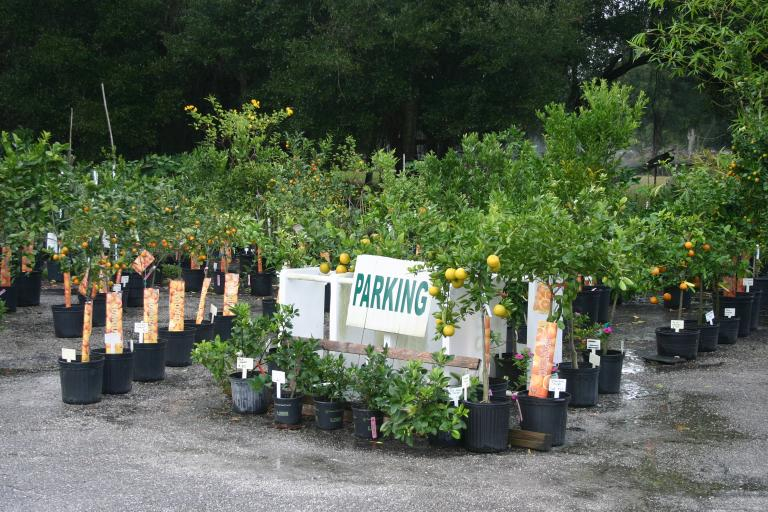 nursery_showing_citrus_with_lots_of_fruit_12-5-15