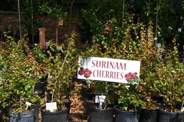 nursery_surinam_cherries_3-4-16