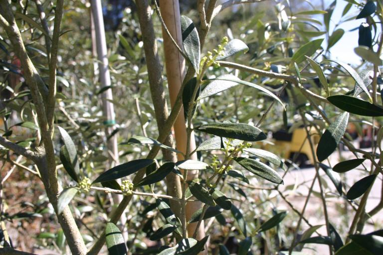 olive__arbequina_with_pinhead_bloom_qgs_nursery_1-20-15