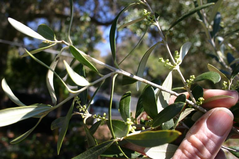 web_images/olive_bloom_close_up_good_img_1202.jpg