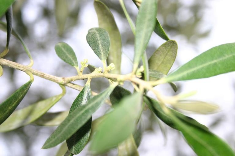 Olive Production Quality Green Specialists